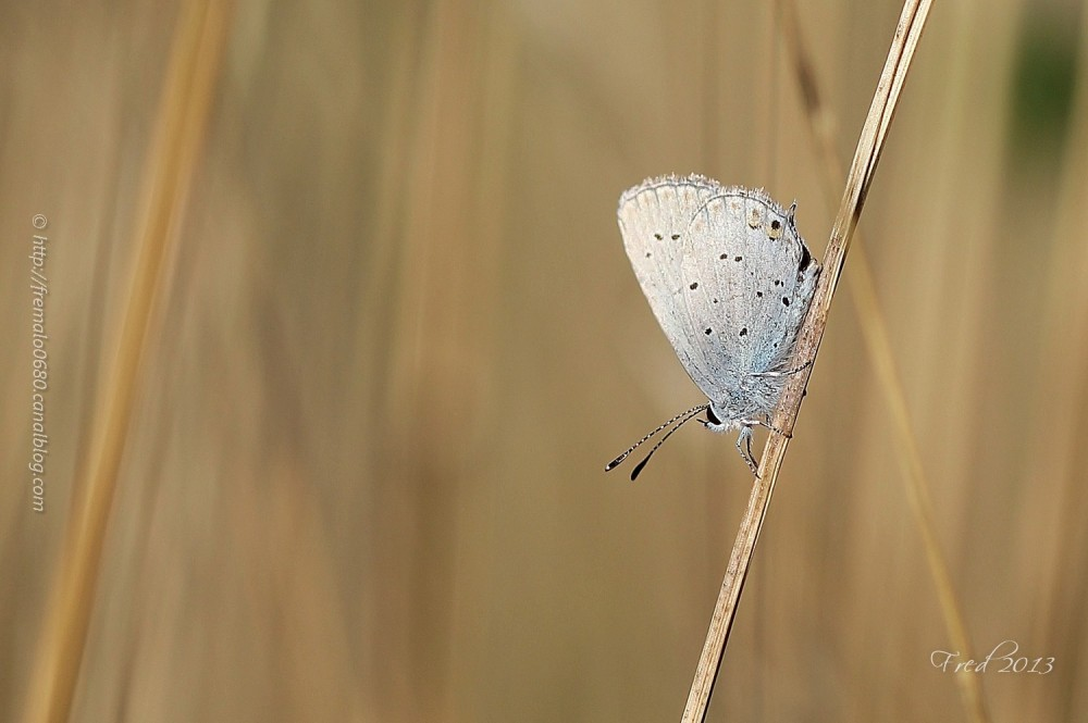 Everes argiades short-tailed-blue papillon