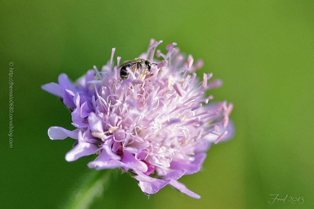 Halictus scabiosae ♀ insecte bee hyménoptère