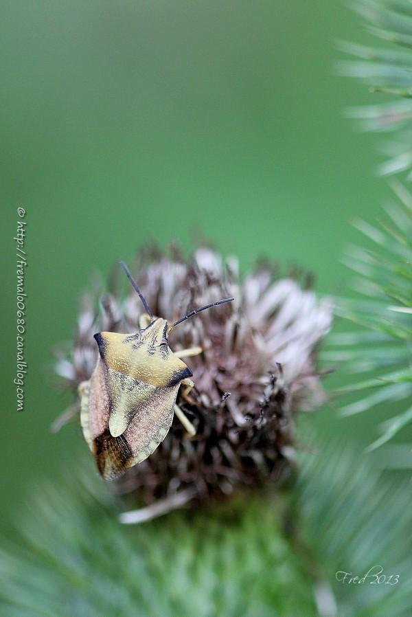 Carpocoris fuscispinus punaise hétéroptère shield