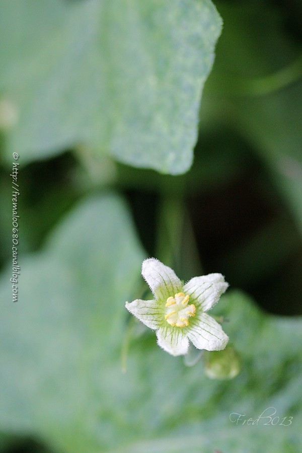 bryonne Bryonnia cretica dioica vegetal toxique