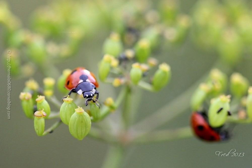 coccinella septempunctata coléoptere insecte coxy