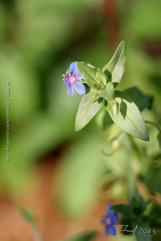 mouron rouge Anagallis arvensis foemina fleur