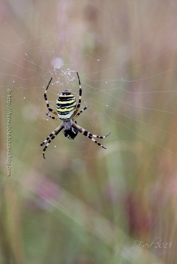 arachnide, wasp spider, Argiope bruennichi