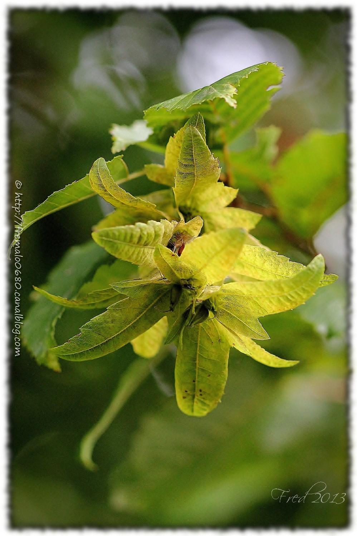 charme carpinus betulus hornbeam arbre