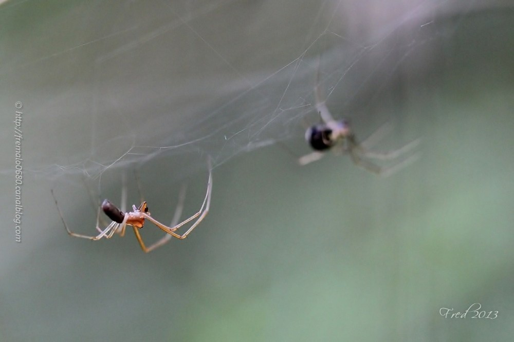 araignée spider arachnide Linyphia triangularis
