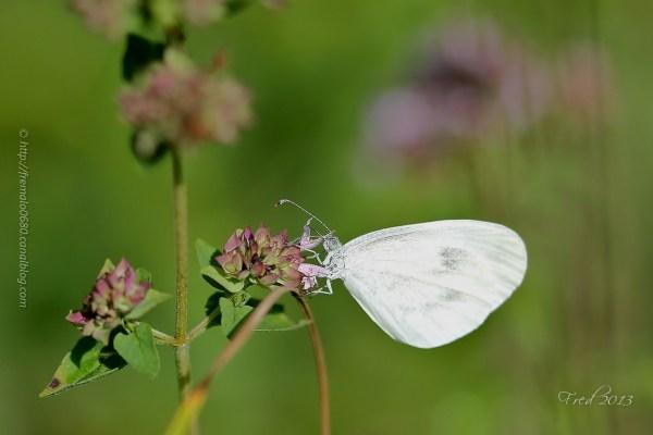 Leptidea papillon lépidoptère butterfly piéride