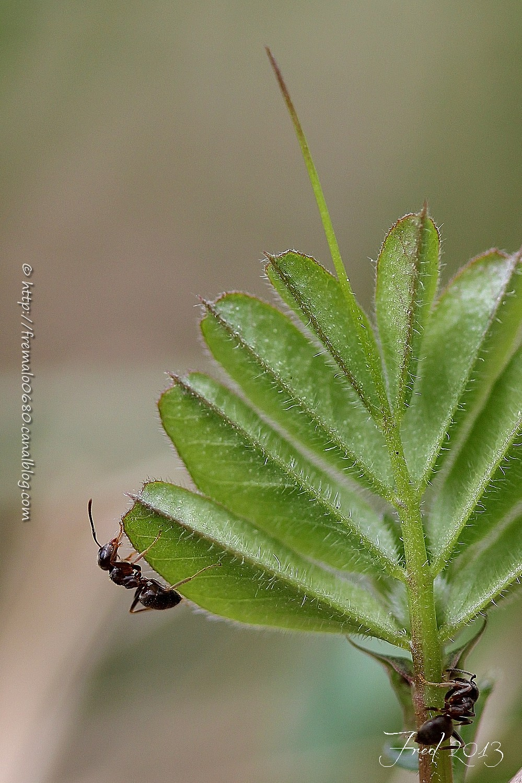 ant fourmi hyménoptère insecte Formica
