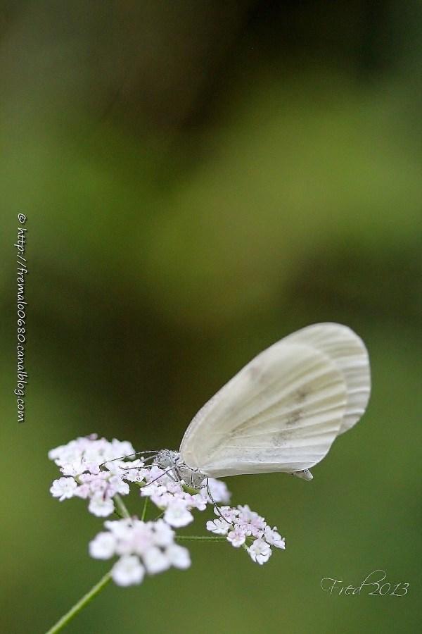 lépidoptère insecte Leptidea papillon butterfly