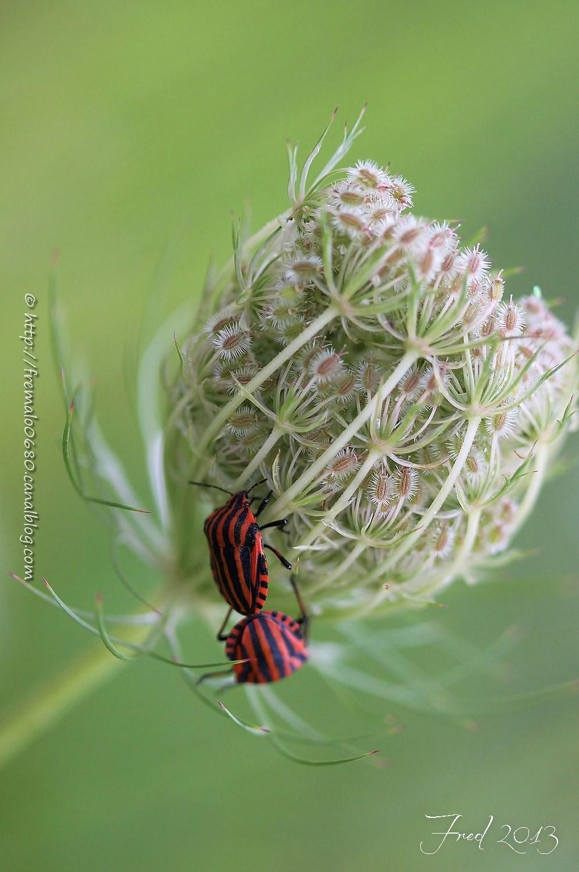 punaise, hétéroptères, Graphosoma italicum insecte
