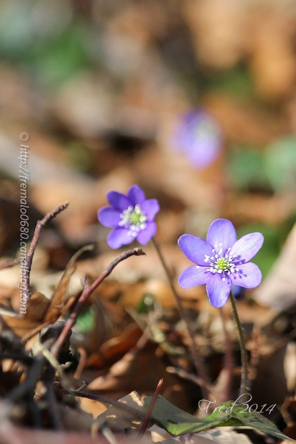 Hepatica nobilis anémone hépatique fleur végétaux