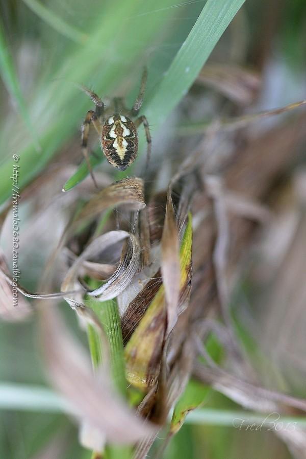 Aculepeira ceropegia oak spider épeire araignée