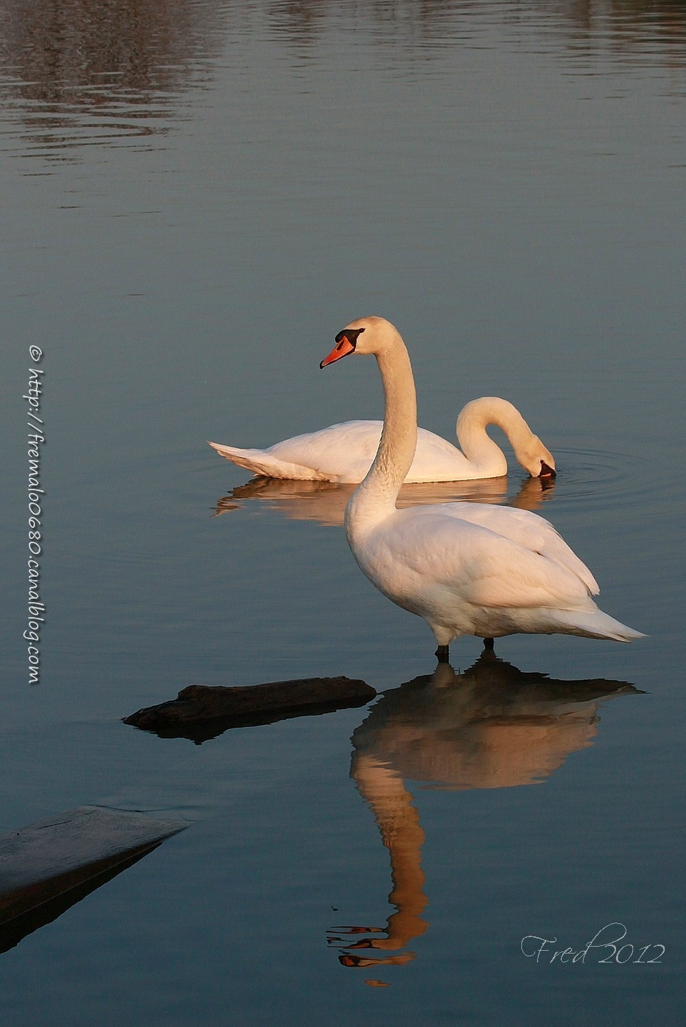 Cygne blanc Cygnus olor oiseaux anatidés