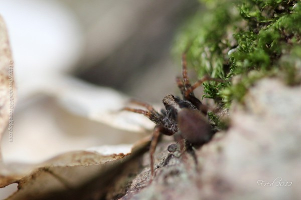 Lycosidae araignée-loup Pardosa gr lugubris spider