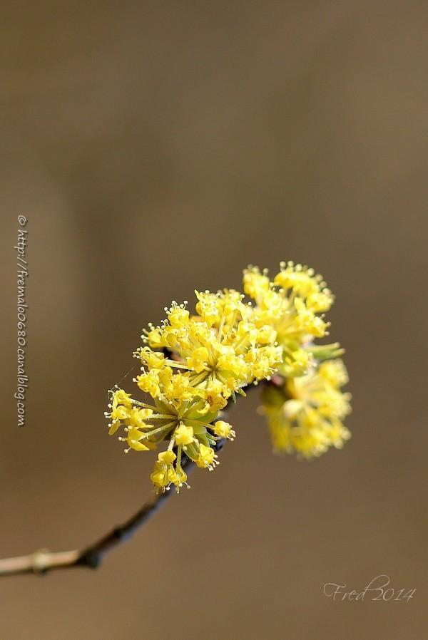 cornelian cherry dogwood cornouillers cornus mas