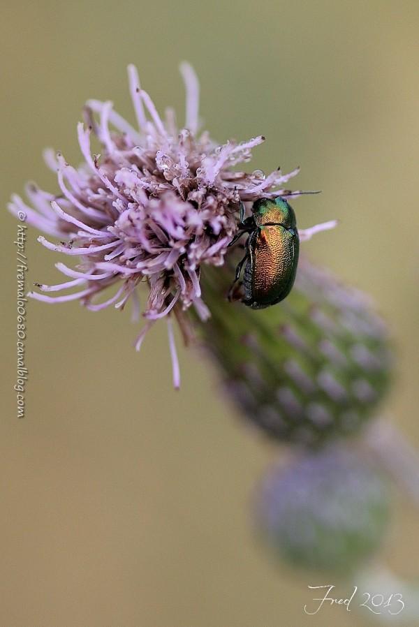 insecte coléoptère Gastrophysa viridula