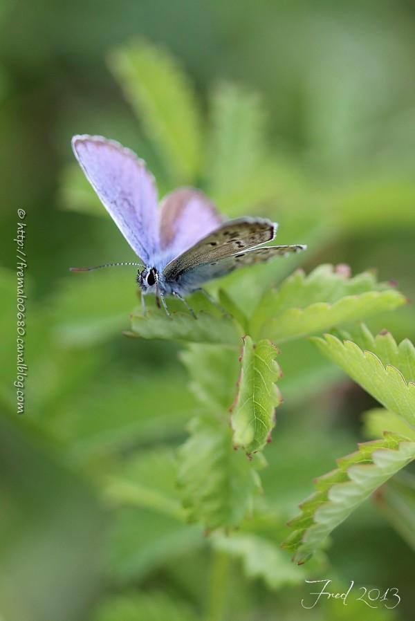 papillon butterfly insecte Plebejus argus