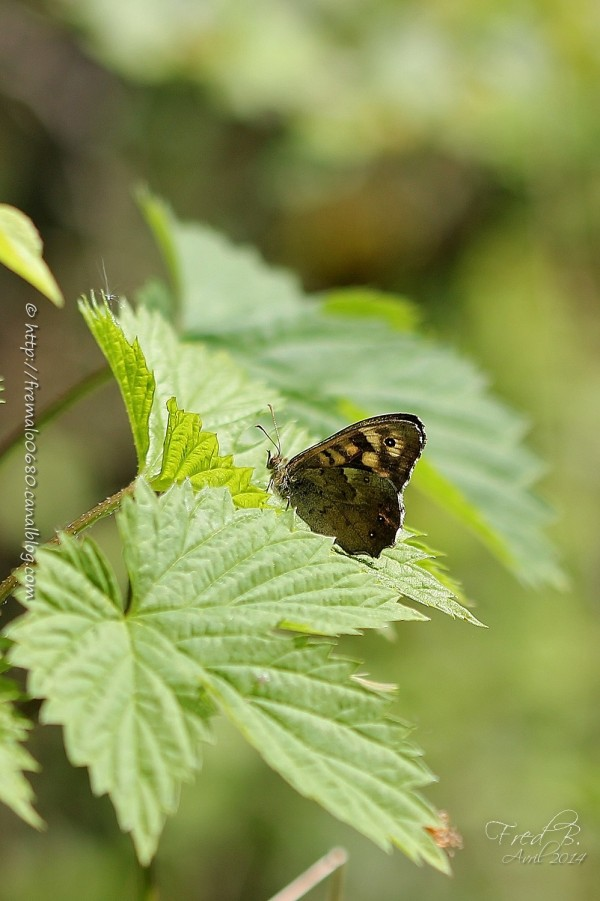 Tircis  Pararge aegeria Speckled wood papillon