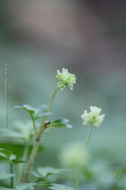Moscatelline Adoxa moschatellina Moscatel fleur