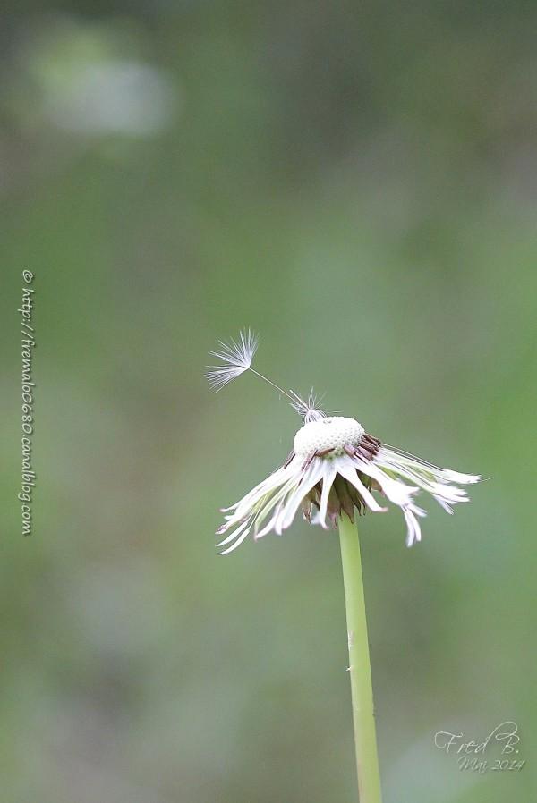 Taraxacum campylodes pissenlit fleur végétaux