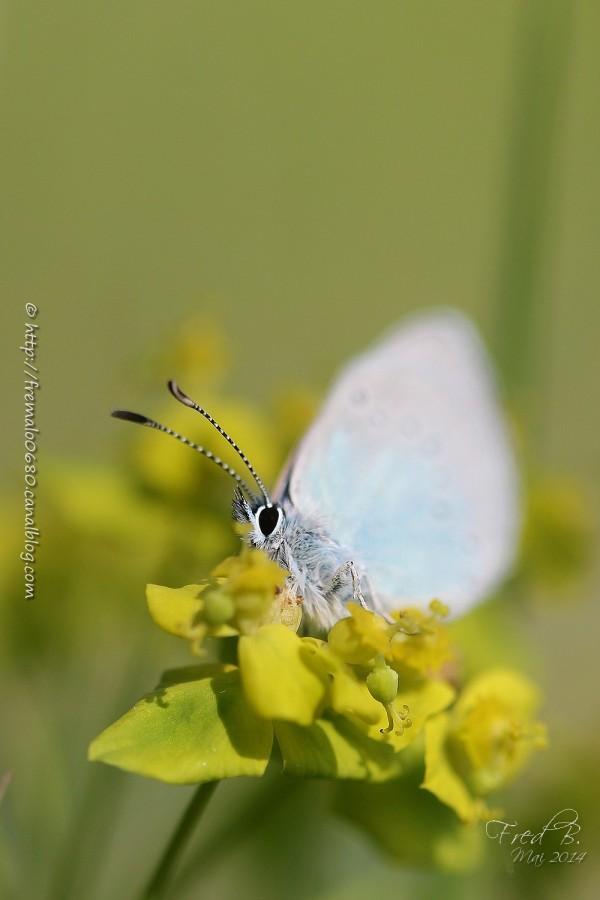 papillon, Argus frêle, butterfly, lépidoptère,
