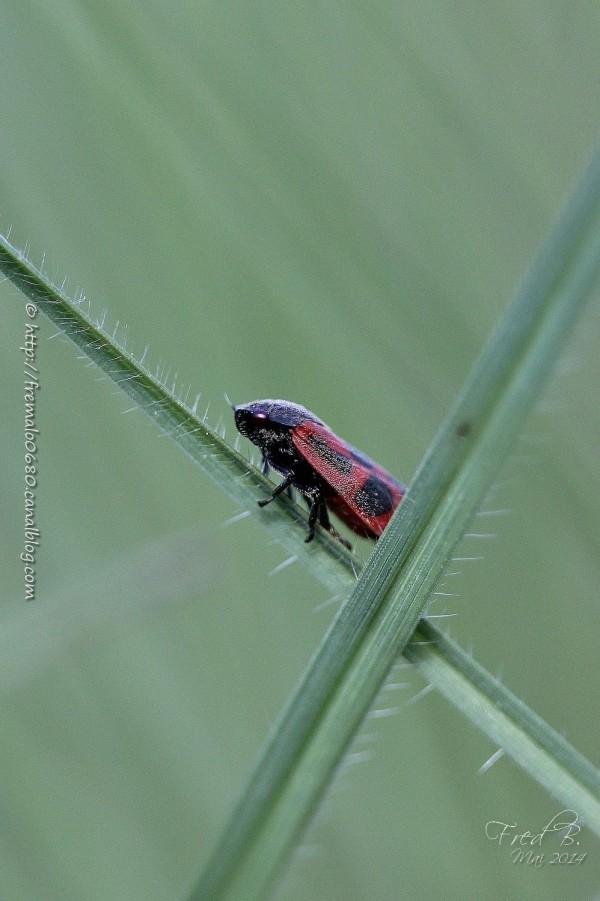 Haematoloma dorsata insecte cercopidae