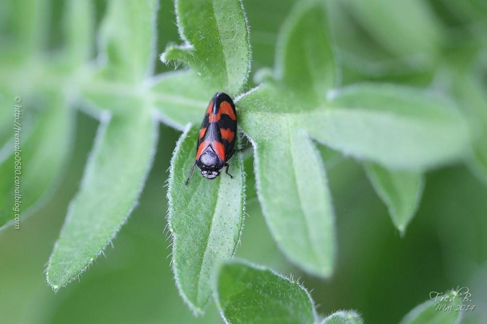 Cercopis vulnerata insecte hémiptère