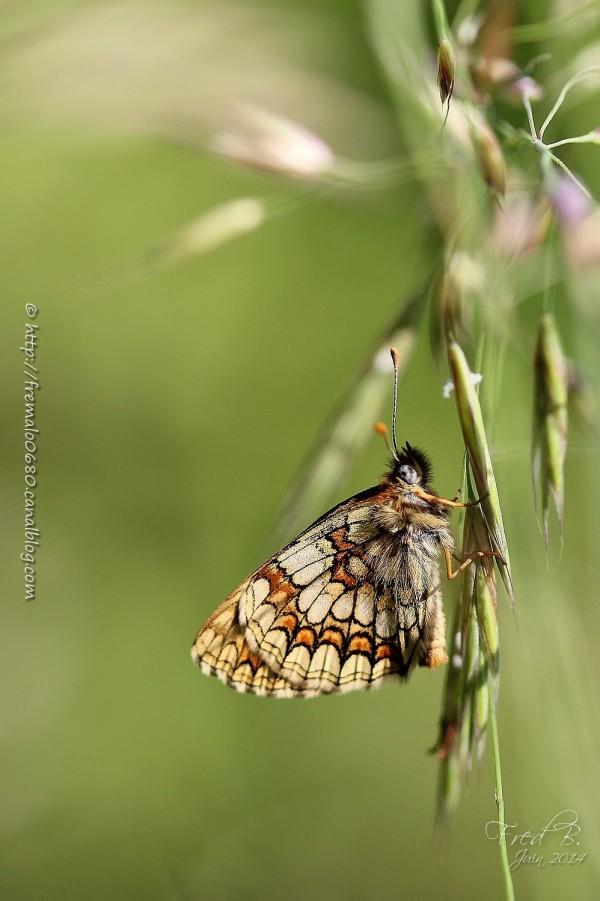 Mellicta athalia mélitée mélampyre papillon