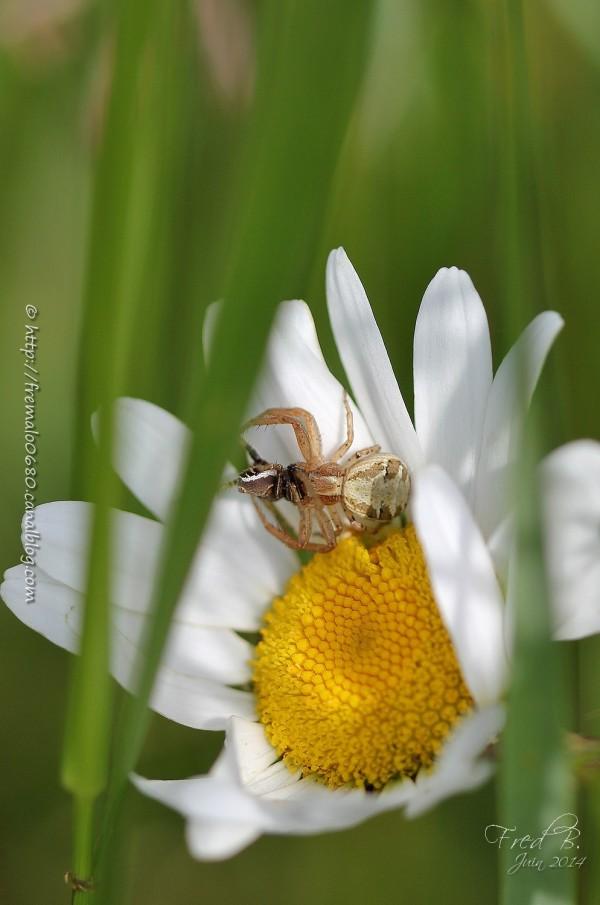 Xysticus araignée spider Thomisidae arachnide