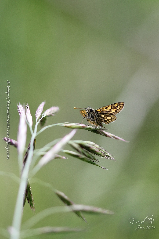 papillon butterfly Carterocephalus palaemon skippe