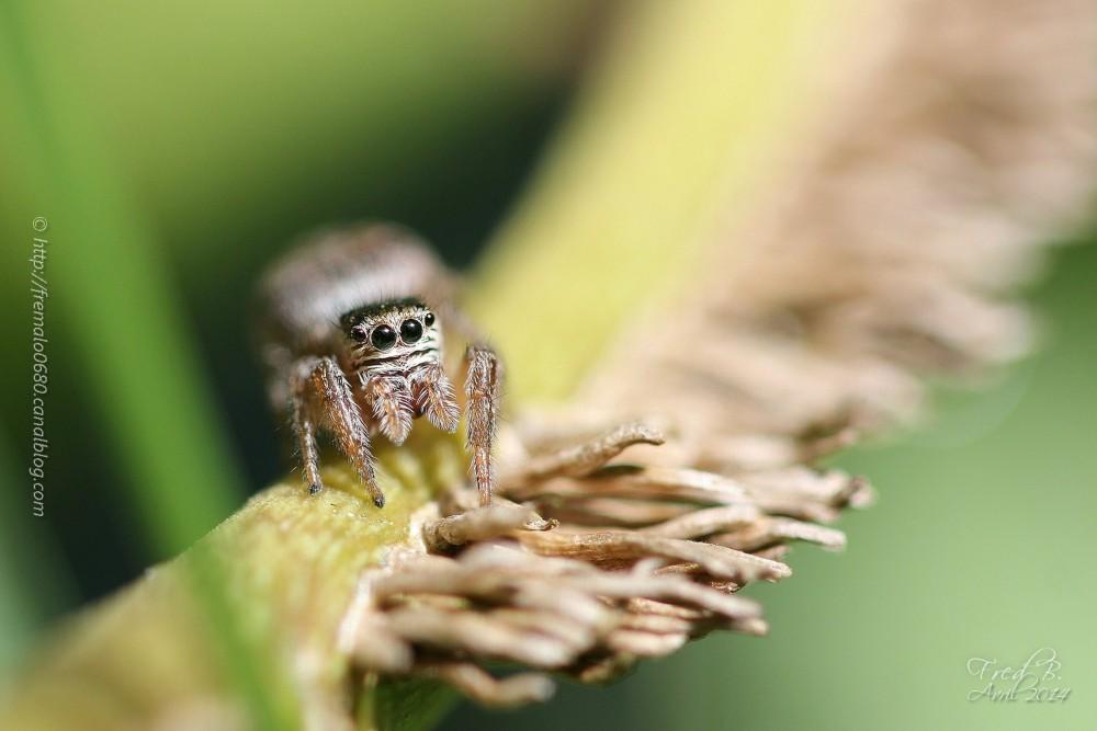 Salticidae arachnide araignée spider Evarcha falca