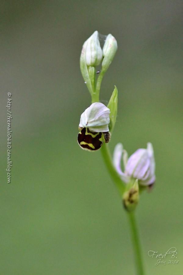 ophrys apifera abeille orchidée orchid fleur