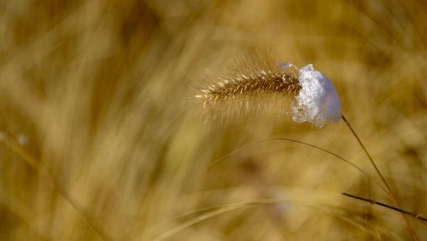 blé en hiver