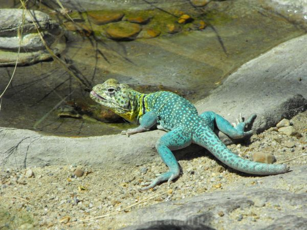 Lizard at zoo