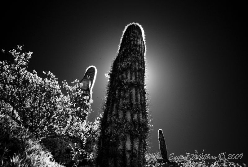 Cactus, Argentina (infrared)