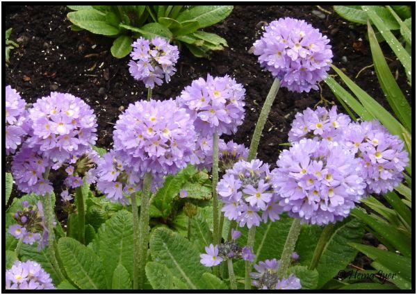 Lilac drumstick primula