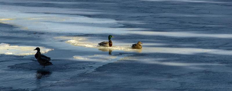 Ice ducks