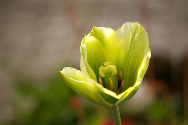 A tulip in the garden