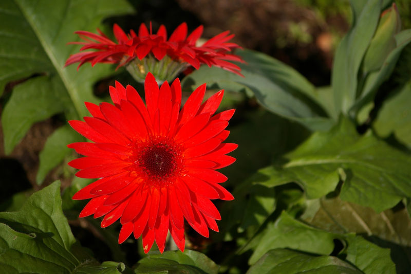 Gerbera in the garden