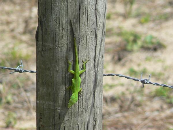 Chameleon on a fence post