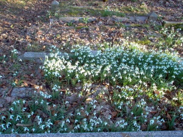 St. John's Snowdrops (5)