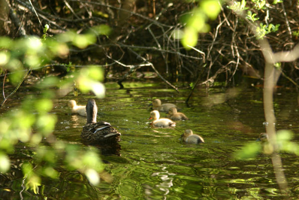 mama duck and ducklings on a pond