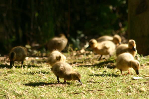 ducklings feeding and walking on the grass
