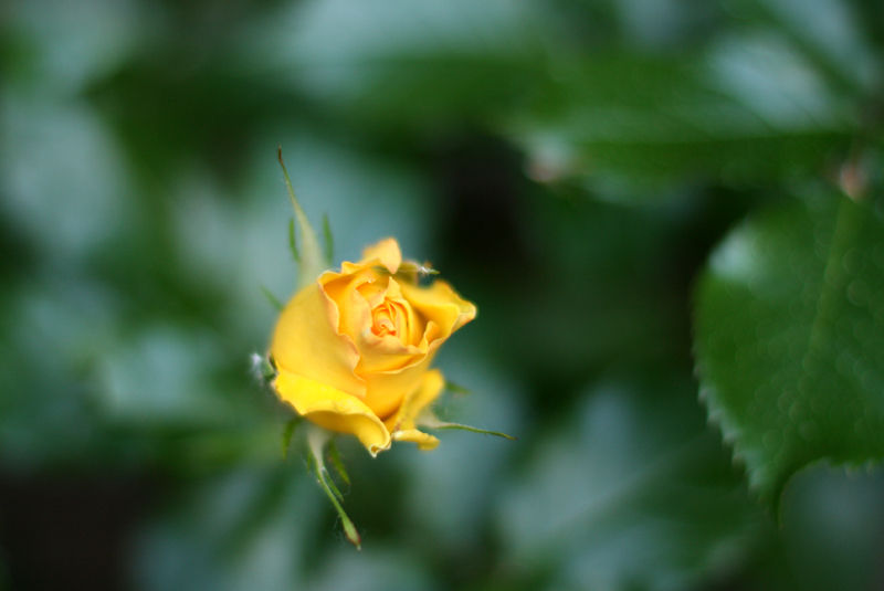 a yellow rose bud from the top