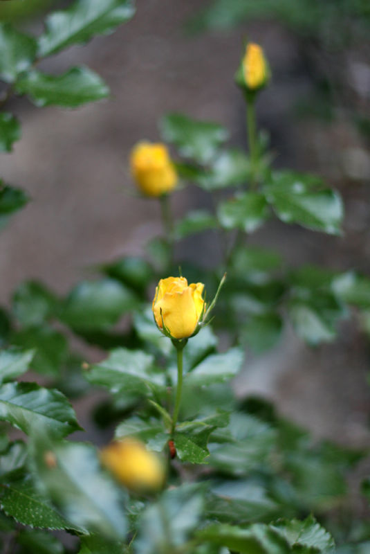 yellow roses in row