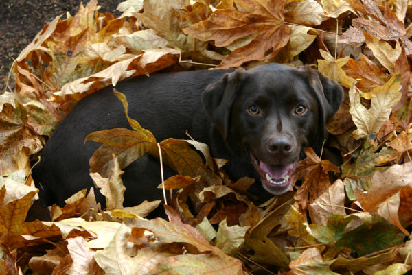 chocolate lab plays in autumn leaves