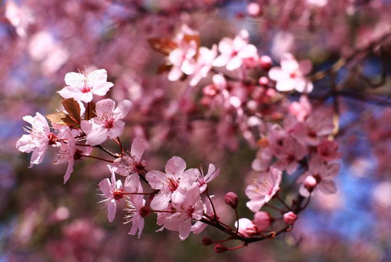 japanese plum trees in spring
