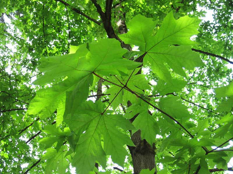 looking up through summer maple leaves