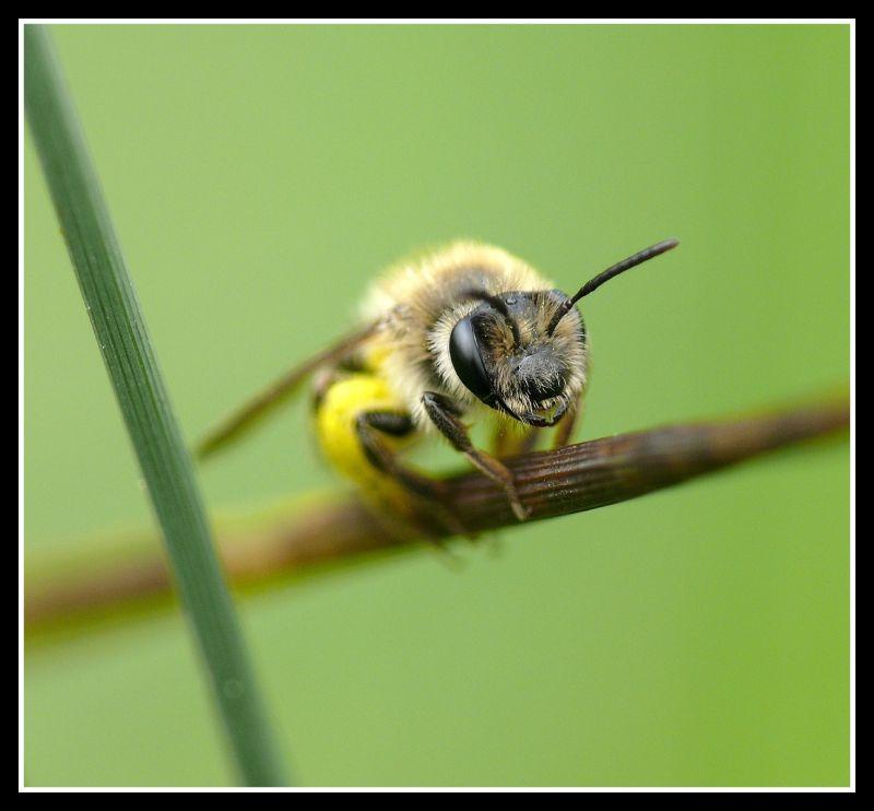patte a miel