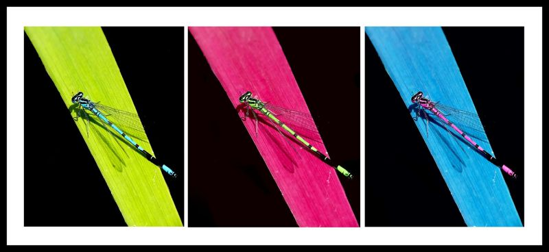 united colors of agrion