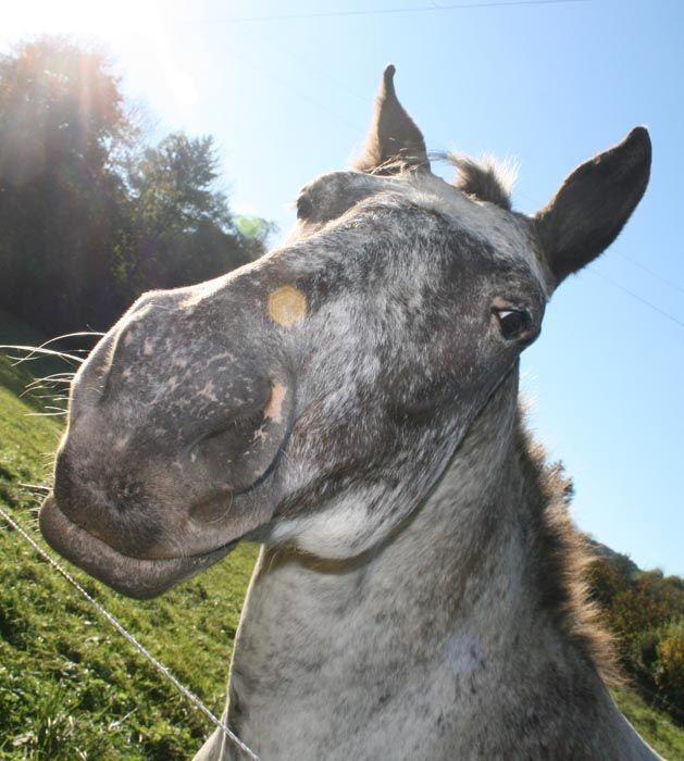 tête de cheval